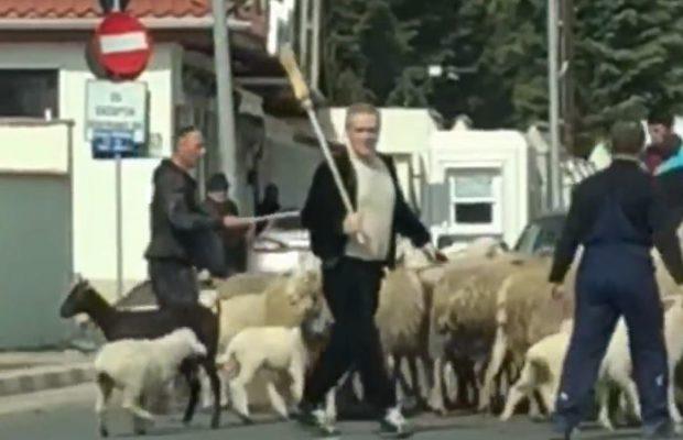 becali cu oile la vot